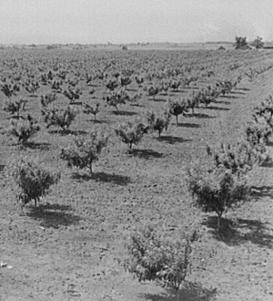 Peach orchard, Flint River Farms, Georgia. (Marion Post Wolcott, 1939). Library of Congress.
